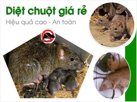 Dịch vụ diệt chuột ở Hải Dương được nhiều người ưa chuộng